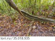 Old trees and Roots, Sinharaja National Park Rain Forest, Sinharaja... Стоковое фото, фотограф Alberto Carrera Anaya / easy Fotostock / Фотобанк Лори