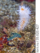 Sea Slug, Dorid Nudibranch, Kubaryana's Nembrotha, Nembrotha kubaryana... Стоковое фото, фотограф Alberto Carrera Anaya / easy Fotostock / Фотобанк Лори