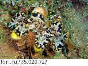 Giant Clam, Tridacna, Bunaken National Marine Park, Bunaken, North... Стоковое фото, фотограф Alberto Carrera Anaya / easy Fotostock / Фотобанк Лори