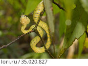 Sri Lankan Green Pit Viper, Trimeresurus trigonocephalus, Sinharaja... Стоковое фото, фотограф Alberto Carrera Anaya / easy Fotostock / Фотобанк Лори