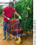Farmer arranging boxes with picked tomatoes in hothouse. Стоковое фото, фотограф Яков Филимонов / Фотобанк Лори
