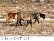 Three multi-colored horses graze on a winter pasture in the Altai mountains. Стоковое фото, фотограф Наталья Волкова / Фотобанк Лори