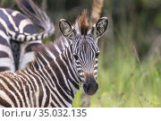 Plains zebra (Equus quagga, formerly Equus burchellii), also known... Стоковое фото, фотограф Morales / age Fotostock / Фотобанк Лори