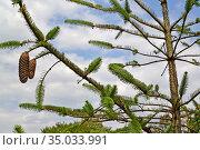 Ель обыкновенная, сорт Змеевидная (Picea abies Virgata). Ветка с шишками. Стоковое фото, фотограф Ирина Борсученко / Фотобанк Лори