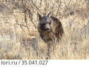 Africa, Namibia, Private reserve, Brown hyena or Strandwolf (Parahyaena... Стоковое фото, фотограф Morales / age Fotostock / Фотобанк Лори