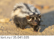 Africa, Namibia, Private reserve, Striped polecat or African Polecat... Стоковое фото, фотограф Morales / age Fotostock / Фотобанк Лори