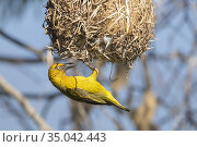 Cape Weavers (Ploceus capensis), adult male at the entrance of the... Стоковое фото, фотограф Saverio Gatto / age Fotostock / Фотобанк Лори