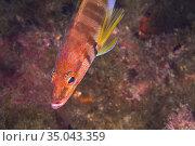 Painted Comber, Serranus scriba, Cabo Cope-Puntas del Calnegre Natural... Стоковое фото, фотограф Alberto Carrera Anaya / easy Fotostock / Фотобанк Лори