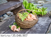 Полная корзина грибов у крылечка дома. Заготовка грибов на зиму. Стоковое фото, фотограф Наталья Осипова / Фотобанк Лори