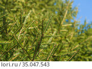 Natural evergreen branches with needles of Xmas tree in pine forest. Fir branches ready for decoration for Happy New Year, Christmas. Стоковое фото, фотограф А. А. Пирагис / Фотобанк Лори