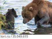 Kamchatka brown she-bear with cub fishing red salmon fish in river during fish spawning. Стоковое фото, фотограф А. А. Пирагис / Фотобанк Лори