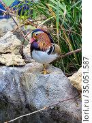 Mandarin duck (Aix galericulata) drake in natural habitat. Стоковое фото, фотограф Евгений Ткачёв / Фотобанк Лори