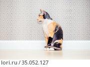 Tricolor Don Sphynx cat with wool. Brashevy mestizo sphinx with big ears. Стоковое фото, фотограф Екатерина Кузнецова / Фотобанк Лори
