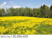 Пейзаж с полем цветущего рапса (лат. Brassica napus) на фоне леса. Стоковое фото, фотограф Елена Коромыслова / Фотобанк Лори
