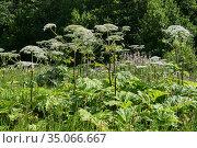 Poisonous invasive weed Sosnovsky hogweed in the meadow. Стоковое фото, фотограф Евгений Харитонов / Фотобанк Лори