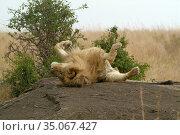 Lion relaxes on the rock. Masai Mara, Kenya (2010 год). Стоковое фото, фотограф Знаменский Олег / Фотобанк Лори