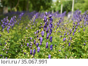 Purple inflorescence of aconite on a blurred natural background. Стоковое фото, фотограф Евгений Харитонов / Фотобанк Лори
