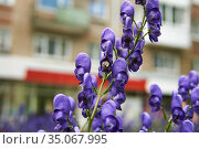 Purple inflorescence of aconite on a blurred urban background. Стоковое фото, фотограф Евгений Харитонов / Фотобанк Лори