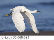 Little Egret (Egretta garzetta), juvenile in flight, Campania, Italy. Стоковое фото, фотограф Saverio Gatto / age Fotostock / Фотобанк Лори