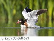 Common Shelduck (Tadorna tadorna), second cy juvenile landing in ... Стоковое фото, фотограф Saverio Gatto / age Fotostock / Фотобанк Лори