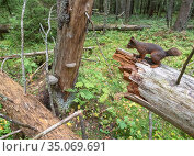 Red squirrel (Sciurus vulgaris) in virgin coniferous forest amongst deadwood, prior to logging. Akershus, Norway. Sequence 1/2. Стоковое фото, фотограф Pal Hermansen / Nature Picture Library / Фотобанк Лори