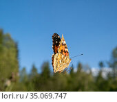 Painted lady butterfly (Vanessa cardui) in flight. Akershus, Norway... Стоковое фото, фотограф Pal Hermansen / Nature Picture Library / Фотобанк Лори