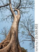 Tree Tetrameles nudiflora (2013 год). Стоковое фото, фотограф Юлия Бабкина / Фотобанк Лори