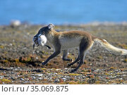 Arctic fox (Vulpes lagopus) running with Gosling in mouth. Svalbard... Стоковое фото, фотограф Pal Hermansen / Nature Picture Library / Фотобанк Лори
