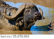 African Buffalo (Syncerus caffer) male, wallowing in mud. Kruger National Park, South Africa, February. Стоковое фото, фотограф Tony Heald / Nature Picture Library / Фотобанк Лори