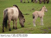 Wild-living Konik horses, (Equus caballus), Oostvaardersplassen Nature Reserve, The Netherlands, April. Стоковое фото, фотограф Staffan Widstrand / Nature Picture Library / Фотобанк Лори
