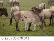 Wild-living Konik horses, (Equus caballus) mare with her foal, Oostvaardersplassen Nature Reserve, The Netherlands, April. Стоковое фото, фотограф Staffan Widstrand / Nature Picture Library / Фотобанк Лори