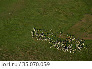 Aerial view of herd of Hungarian Grey cattle, Pusztaszer Protected landscape, Kiskunsagi, Hungary, May. Стоковое фото, фотограф Staffan Widstrand / Nature Picture Library / Фотобанк Лори