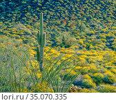 Brittlebush (Encelia farinosa) Ocotillo (Fouquieria splendens) and lone Saguaro cactus (Carnegiea gigantea), Sierra Pinacate, Carnege, Mexico. Стоковое фото, фотограф Jack Dykinga / Nature Picture Library / Фотобанк Лори