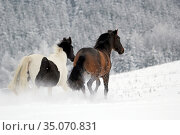 Munich, horses gallop in winter on the paddock through the snow (2019 год). Редакционное фото, агентство Caro Photoagency / Фотобанк Лори