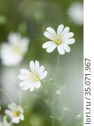 Greater Stitchwort (Rabelera holostea) flowers formerly Stellaria... Стоковое фото, фотограф Craig Joiner / age Fotostock / Фотобанк Лори