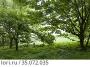 Deciduous woodland in summer at Dolebury Warren in the Mendip Hills... Стоковое фото, фотограф Craig Joiner / age Fotostock / Фотобанк Лори