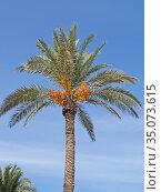 Крона финиковой пальмы с плодами (Phoenix dactylifera L.) на фоне голубого неба. Стоковое фото, фотограф Ирина Борсученко / Фотобанк Лори