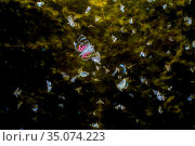 RF - Moths (Lepidoptera) swarming with flight trails, attracted by... Стоковое фото, фотограф Edwin Giesbers / Nature Picture Library / Фотобанк Лори