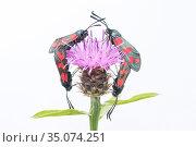 Six-spot burnet moth (Zygaena filipendulae), two pairs mating on Knapweed (Centaurea nigra). The Netherlands. June. Стоковое фото, фотограф Edwin Giesbers / Nature Picture Library / Фотобанк Лори