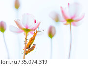 Common red soldier beetle (Rhagonycha fulva) pair mating amongst flowers... Стоковое фото, фотограф Edwin Giesbers / Nature Picture Library / Фотобанк Лори