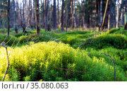 Green moss close-up. Kukushkin flax ordinary, or Polytrichum ordinary. Стоковое фото, фотограф Алексей Маринченко / Фотобанк Лори