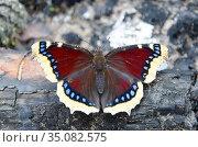 Бабочка траурница (лат. Nymphalis antiopa) на обгорелом дереве. Стоковое фото, фотограф Елена Коромыслова / Фотобанк Лори