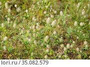 Цветущий клевер пашенный (лат. Trifolium arvense), фон. Стоковое фото, фотограф Елена Коромыслова / Фотобанк Лори