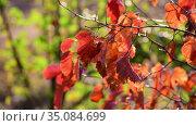 Beautiful yellow autumn hawthorn leaves in the garden. Стоковое видео, видеограф Володина Ольга / Фотобанк Лори