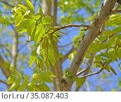 Ветка с сережками лапины ясенелистной (Pterocarya fraxinifolia) Стоковое фото, фотограф Ирина Борсученко / Фотобанк Лори