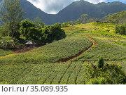 A pineapple farm on the island of Moorea, with mountains rising in... Стоковое фото, фотограф Sergi Reboredo / age Fotostock / Фотобанк Лори