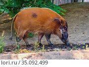 Single Red River Hog - latin Potamochoerus porcus - known also as... Редакционное фото, фотограф bialorucki bernard / age Fotostock / Фотобанк Лори