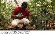 African american farmer hand harvesting crop of ripe cucumbers in large greenhouse in springtime. Стоковое видео, видеограф Яков Филимонов / Фотобанк Лори