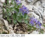 Blueish pederota (Paederota bonarota) amongst rocks at 2200m. Valparola Pass, near Cortina, Dolomites, Belluno, Italy. July. Стоковое фото, фотограф Paul  Harcourt Davies / Nature Picture Library / Фотобанк Лори