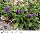 Large flowered selfheal (Prunella grandiflora) at 2200m. Valparola Pass, near Cortina, Dolomites, Belluno, Italy. June. Стоковое фото, фотограф Paul  Harcourt Davies / Nature Picture Library / Фотобанк Лори